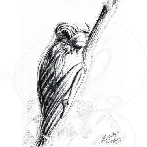 dessins-lucidaelle-bourgeon-en-formation_02